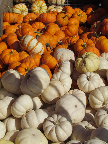 A lot of small orange and white pumpkins for decorating. Wallpaper background backdrop fall harvest photo