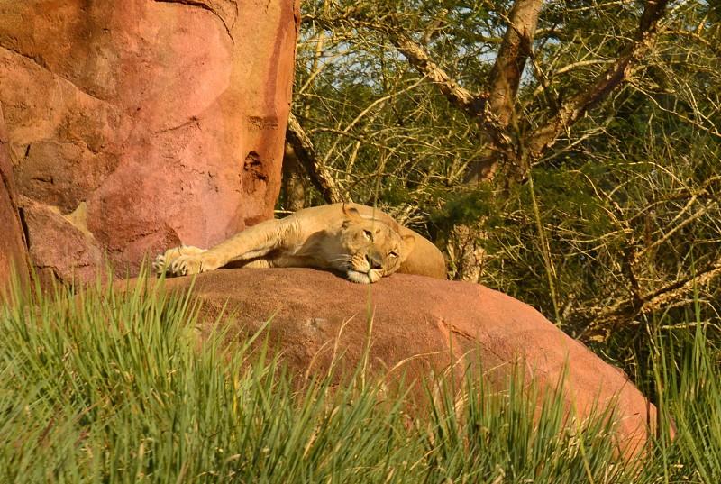 female lion sleeping on red rocks photo