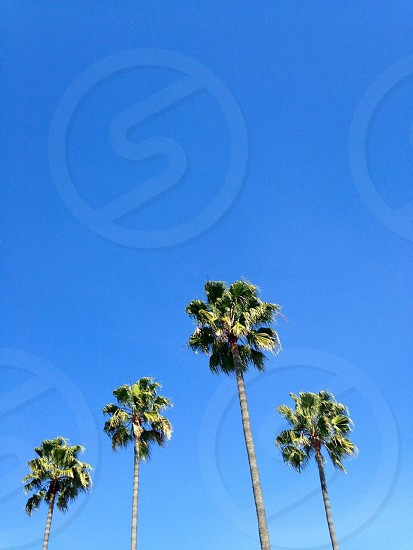 A group of palm trees by the beach in San Diego CA photo