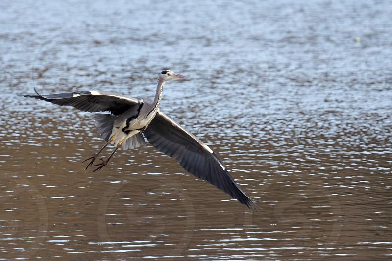 Grey Heron Coming in to Land at Warnham Nature Reserve photo
