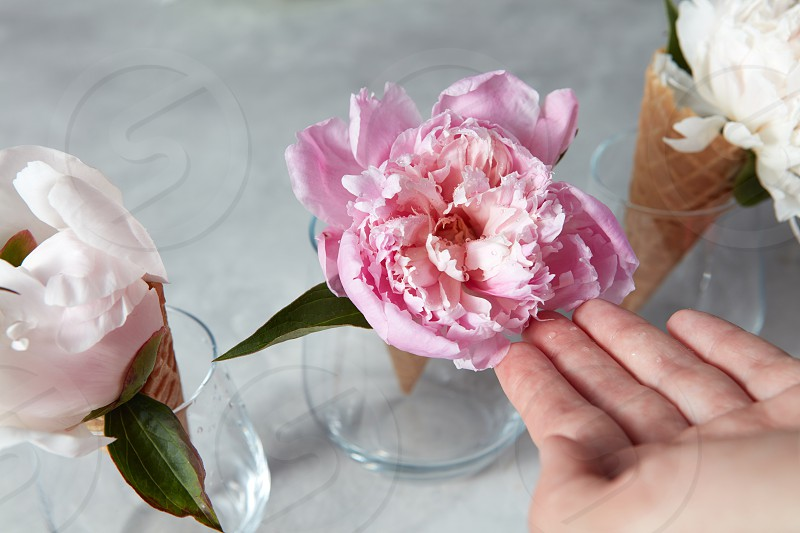 Summer flowers - fresh tender pink and white peony in a wafer cones with female hands above a gray table. Top view. photo