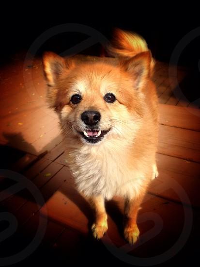Bear the Pomeranian  photo