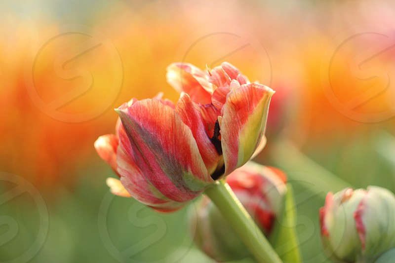 Red tulip on orange and green background photo