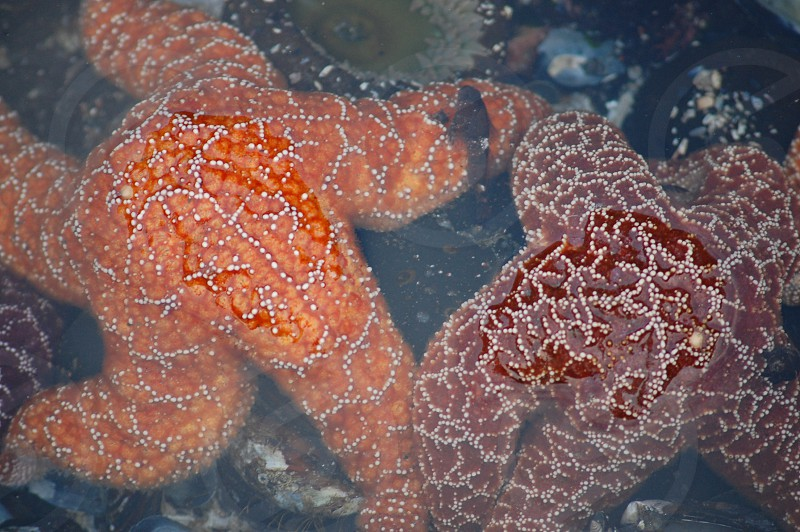 Red and orange starfish on the Oregon Coast photo