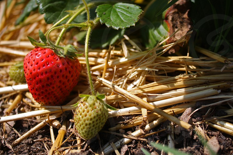 Strawberry plants with ripe and green strawberries photo