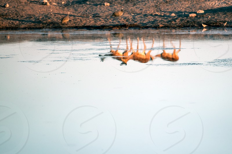 Springbok reflected in water photo