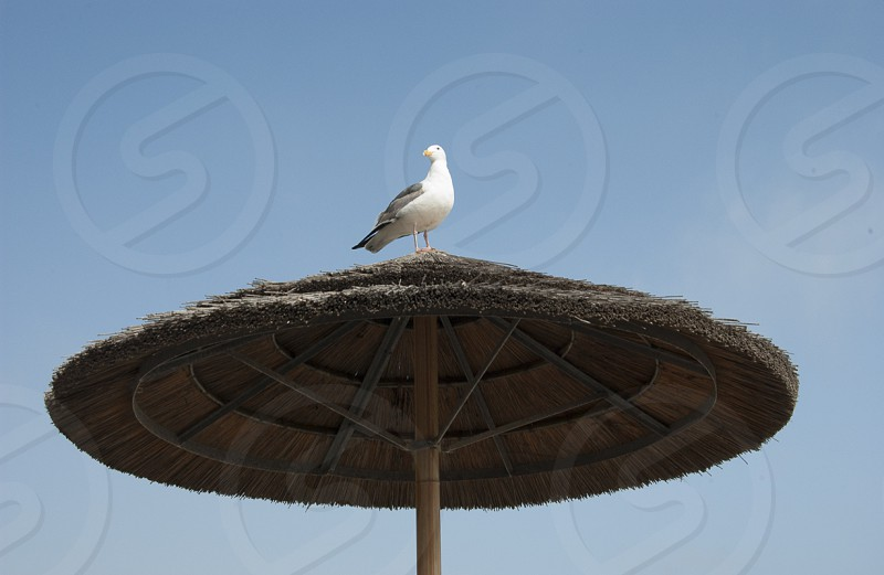 Seagull on palapa Malibu California. photo