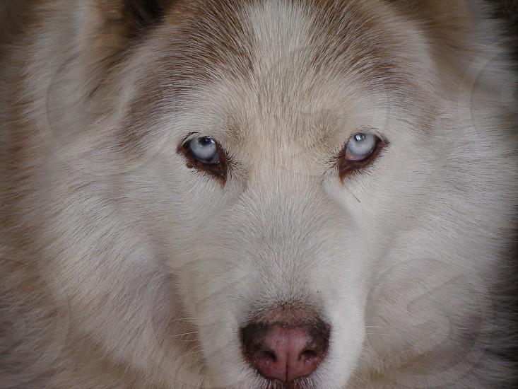 Siberian dog looking attentive photo