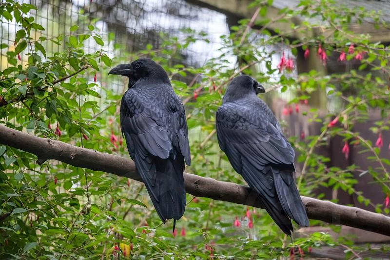Common Raven (Corvus corax) photo