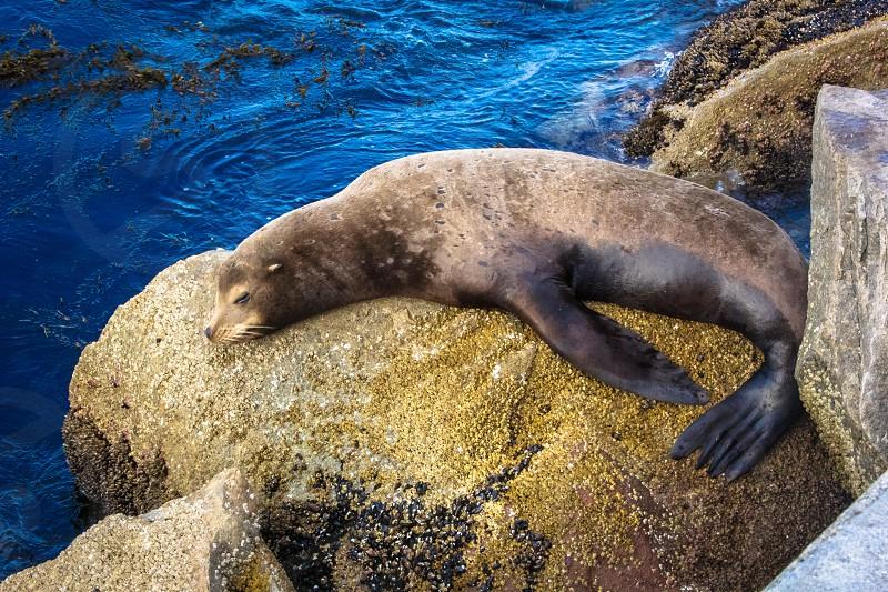 Sea Lion napping on a rock photo