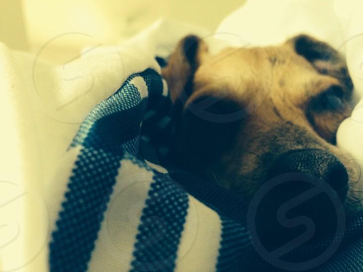 Reese Chitalian Greyhound photo