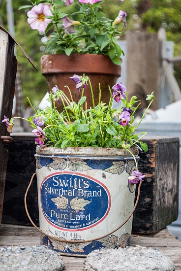 Plant flowers pot container spring summer shed green garden gardening growing annual bloom vintage tin recycled repurposed  photo