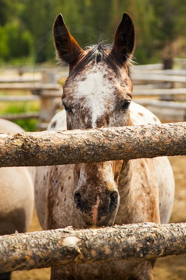 brown and white horse behind wood fence photo