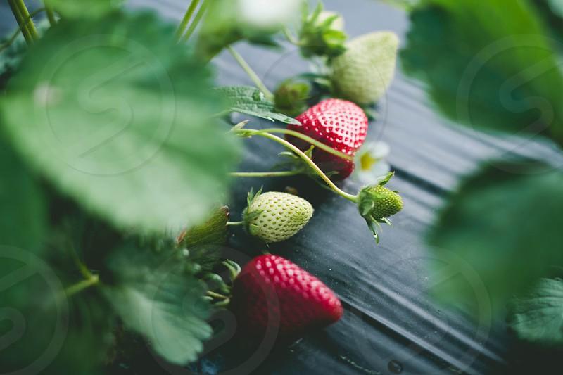 ripe and unripe strawberries photo