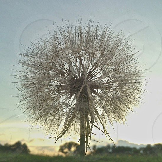dandelion in nature nearly perfect circle photo