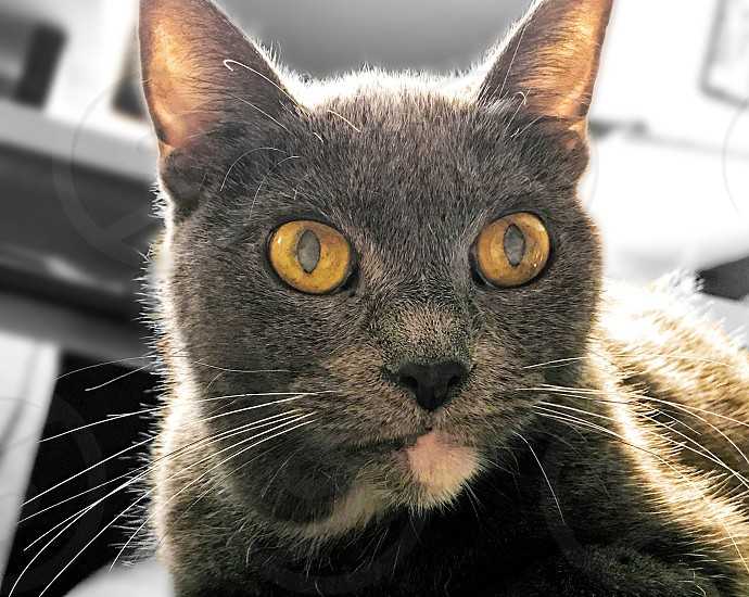 Close-up of a gray house cat photo