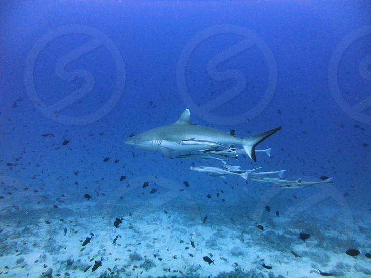 sharks predators fish marine life diving snorkelling ocean big blue sea water reef coral photo