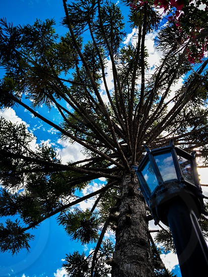 an araucaria over a blue sky with some clouds photo