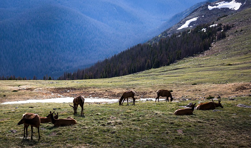 Mule deers in the Rocky Mountain Nationalpark photo