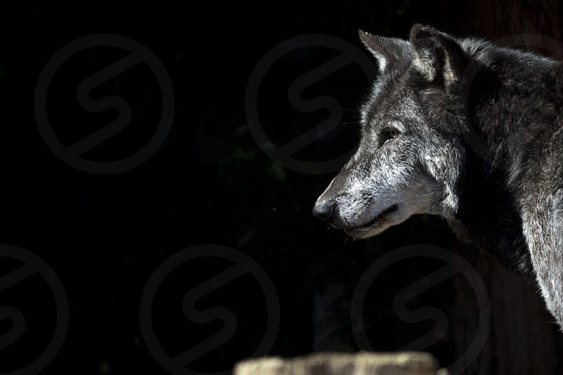 Lone wolf looking into the night photo