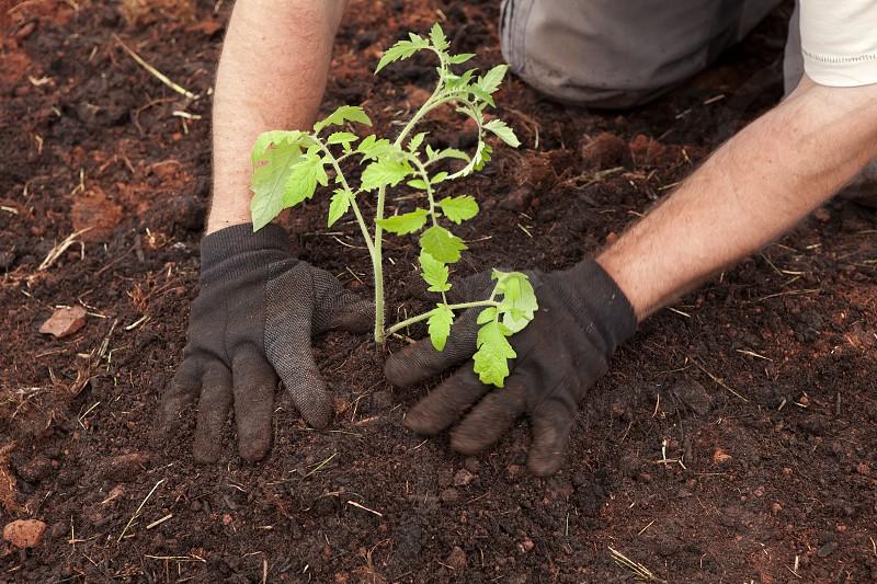 Farm to Table - gardening planting tomato plant photo