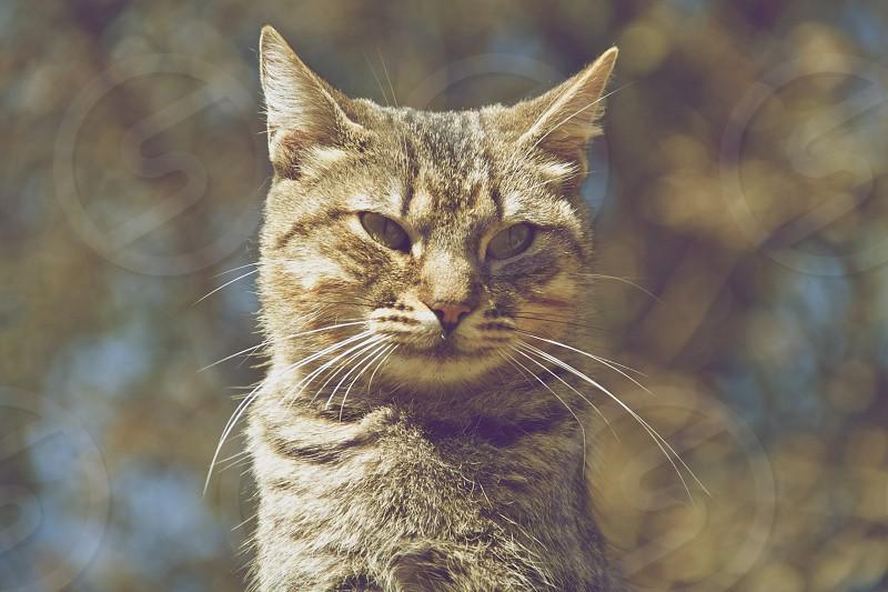 silver tabby cat photo