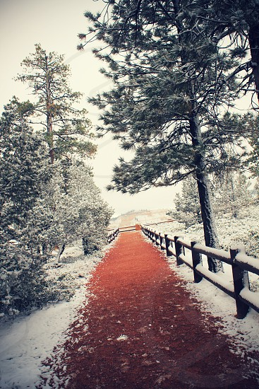 view of pine trees with snow photo