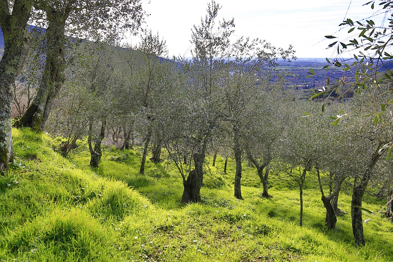 Olive Tree fields in Italy near the city of Pisa in Tuscany photo