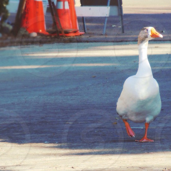 white duck walking on street photo