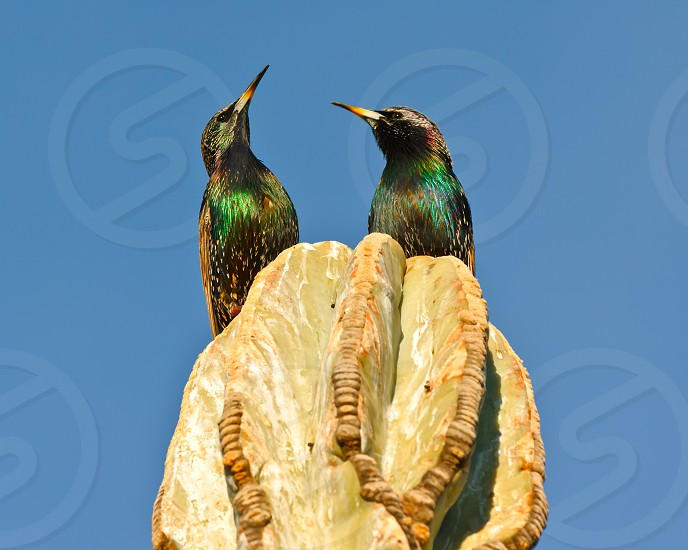A pair of Starlings on top of a cactus in Arizona looking skyward in response to an aircraft flying overhead. Starlings are not native to America. They are an invasive species that was released in the 1890s. photo