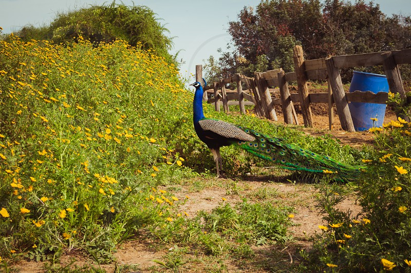 Peacock in the farm. photo