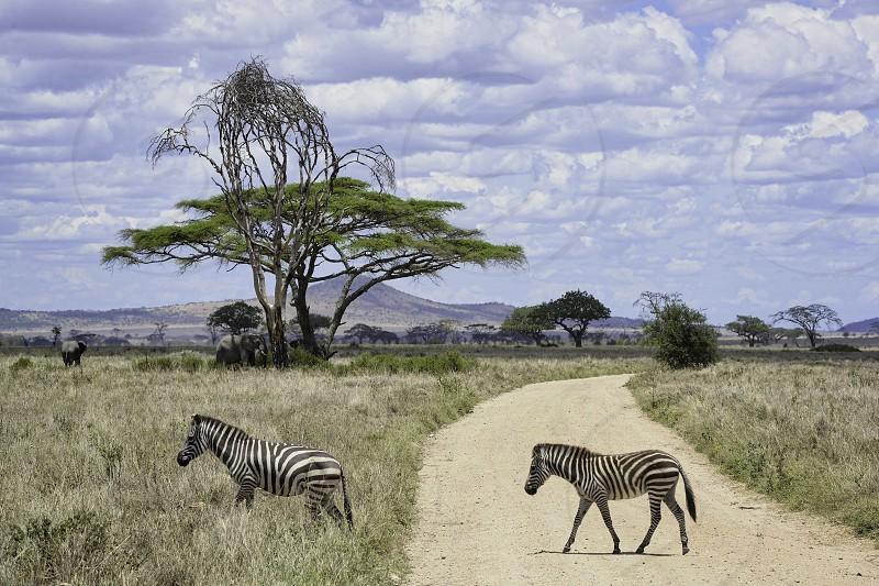African Safari in the Serengeti National Park of Tanzania photo