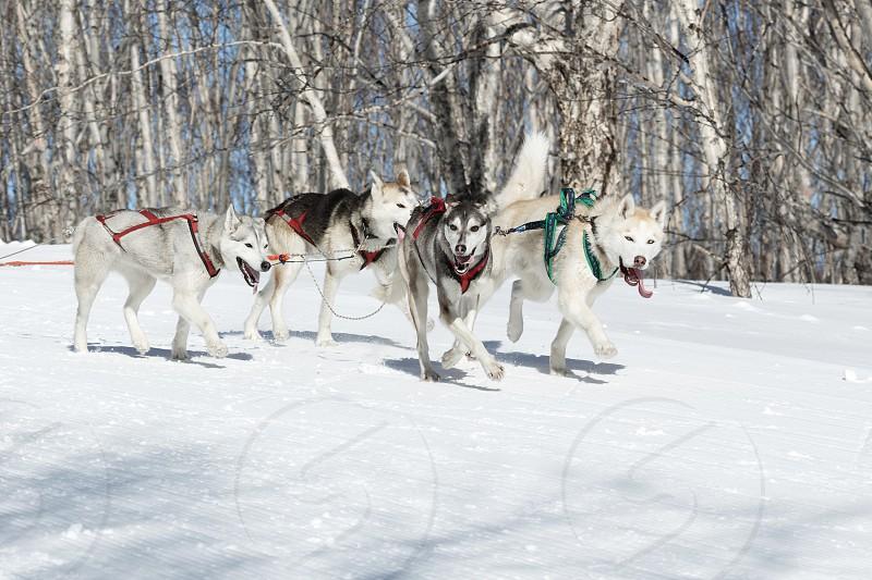 PETROPAVLOVSK-KAMCHATSKY KAMCHATKA PENINSULA RUSSIA - FEBRUARY 23 2017: Kamchatka Kids Competitions Sled Dog Race Dyulin (Beringia). Runs dog sled young Kamchatka musher Kazantseva Maria. photo