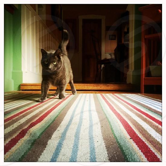 black cat walking across striped rug photo