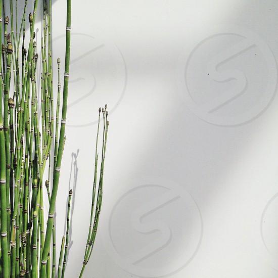bamboo plant photo
