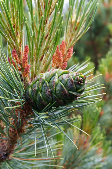 Flora of Kamchatka Peninsula: beautiful branch Pinus Pumila with green cone. photo