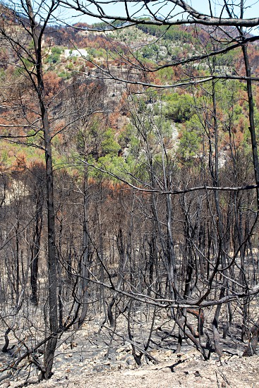 Ibiza after fire in May 2011 black spring with burned pine trees  photo