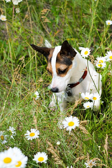 Small Jack Russell terrier dog in a field of wild daisies. photo