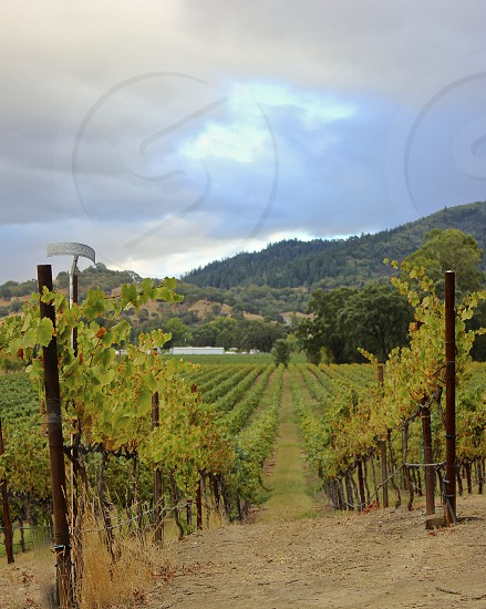 Vineyards Ukiah CA photo