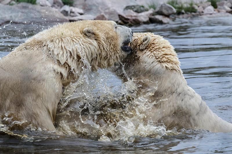 Polar Bears (Ursus maritimus) photo