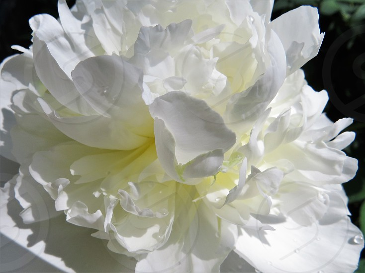 White peony in bloom. photo