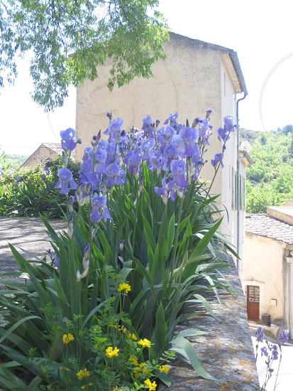 'Iris' Bonnieux France photo