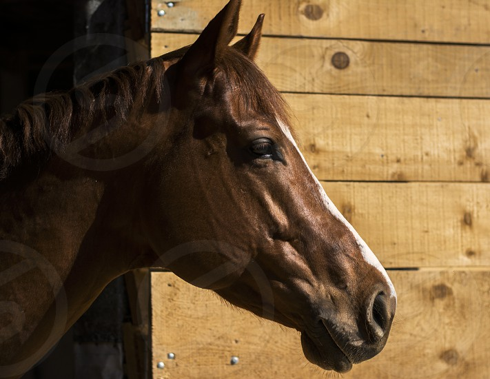 Brown horse sticking out of a barn photo