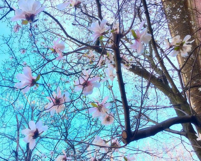 Spring; cherry; blossoms; tree; nature photo