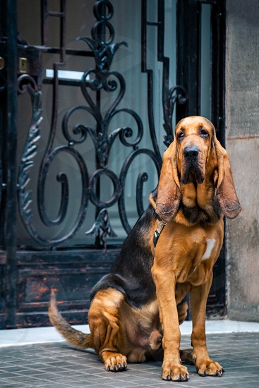 Handsome young male bloodhound sits on the street near the main entrance with a forged lattice. photo