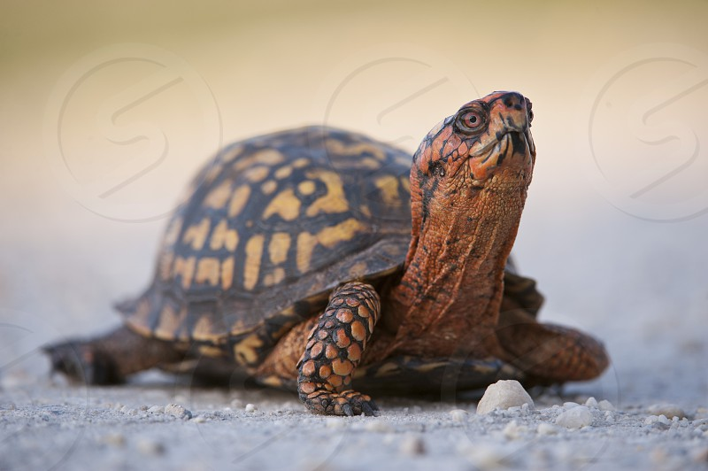 Eastern Box Turtle on the road. photo