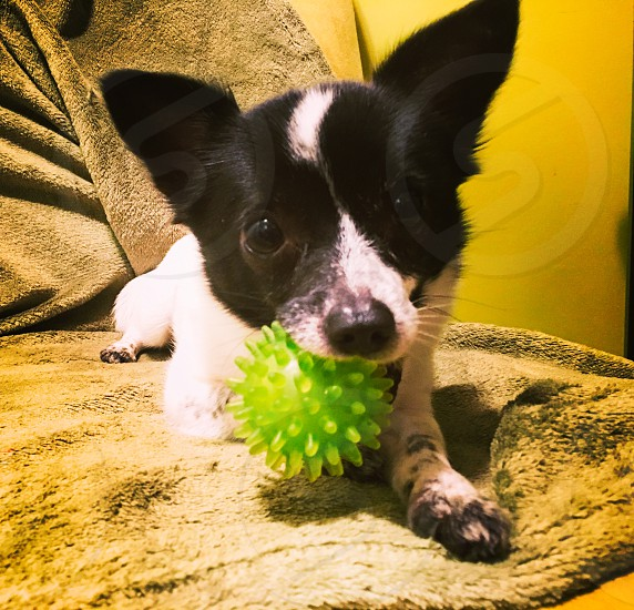 Chihuahua dog home love animals pet pets doggy play joy photo