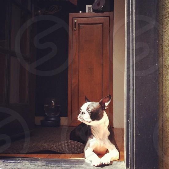 black and white pug photo