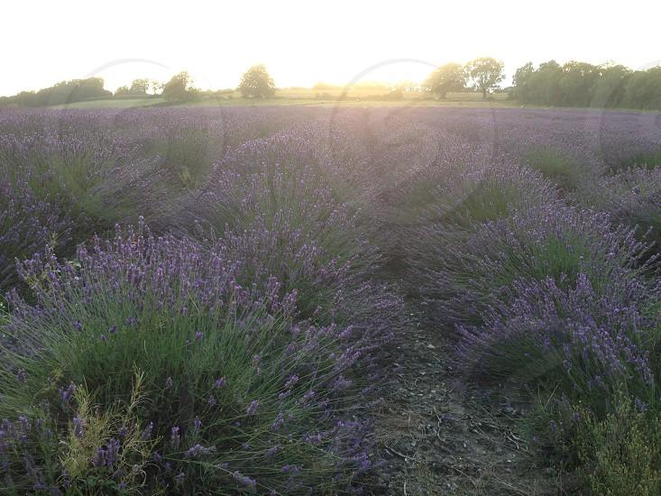 Lavender fields photo