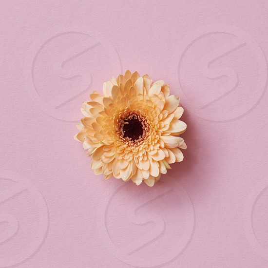 Orange gerbera flower on a pink background. Spring minimal concept. Nature background. Top view photo